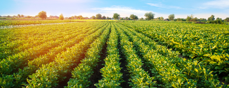 Potato plantations grow in the field. vegetable rows. farming, agriculture. Landscape with agricultural land. crops. Banner Stok Fotoğraf