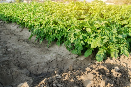 Potatoes plantations grow in the field. Agroindustry. Vegetable rows. Agricultural grounds. Agriculture. Farming. Growing vegetables. Farm. Landscape with agricultural land. Crops. Fresh. Potato plant Foto de archivo