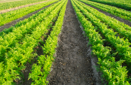 Carrot plantations grow in the field. Vegetable rows. Agricultural grounds. Agriculture. Farming. Growing vegetables. Farm. Landscape with agricultural land. Crops. Agroindustry. Fresh. Green. Plant