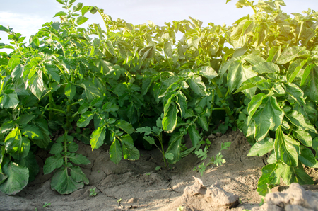 Potatoes plantations grow in the field. Agroindustry. Vegetable rows. Agricultural grounds. Agriculture. Farming. Growing vegetables. Farm. Crops. Fresh. Potato plant. Bush