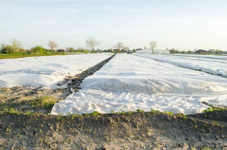 Spunbond to protect against frost and keep humidity of vegetables. Small greenhouses. Field. Agroindustry. Agricultural grounds. Agriculture. Farming. Growing vegetable. Farm. Care Stock Photo