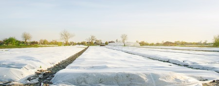 Spunbond to protect against frost and keep humidity of vegetables. Small greenhouses. Field. Agroindustry. Agricultural grounds. Agriculture. Farming. Growing vegetable. Farm. Care Foto de archivo