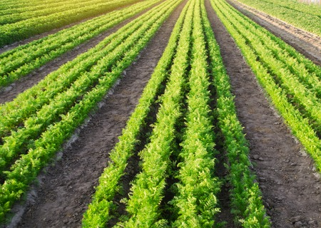 Young carrots grow in the field. Growing vegetables on the farm. Agriculture. Farming. Vegetable rows. Crops. Farmland landscape. Agroindustry. Fresh. Green. Plant. Plantations