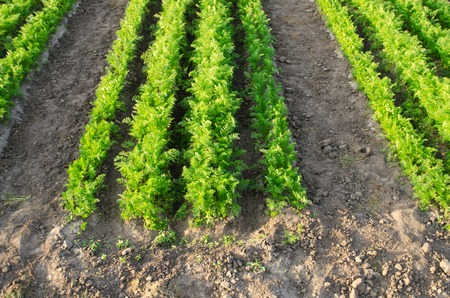 Carrot plantations grow in the field. Vegetable rows. Agriculture. Farming. Growing vegetables. Farm. Crops. Agroindustry. Fresh. Green. Plant. Farmland landscape. Plantation