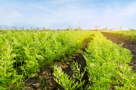 Vegetable rows of young carrot grow in the field. Growing farming crops. Beautiful landscape on the plantation. Agriculture. Selective focus. Stock Photo