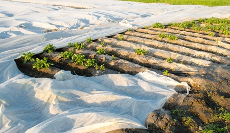 Small greenhouses. Growing vegetable. Spunbond to protect against frost and keep humidity of vegetables. Agricultural grounds. Potato. Farm Field Agriculture Farming. Selective focus