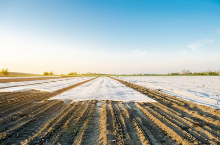 Agricultural landscape. Growing organic vegetables in small greenhouses. Drip irrigation. Spunbond to protect against frost and keep humidity of vegetable. Agricultural grounds. Selective focus Stock Photo