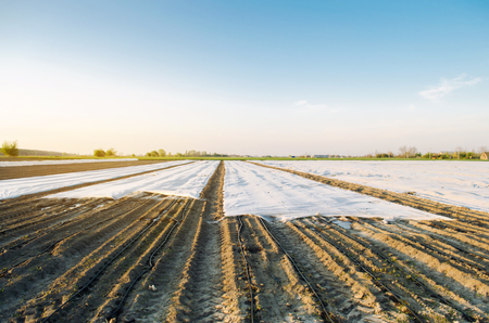 Agricultural landscape. Growing organic vegetables in small greenhouses. Drip irrigation. Spunbond to protect against frost and keep humidity of vegetable. Agricultural grounds. Selective focus Stock Photo - 124957231