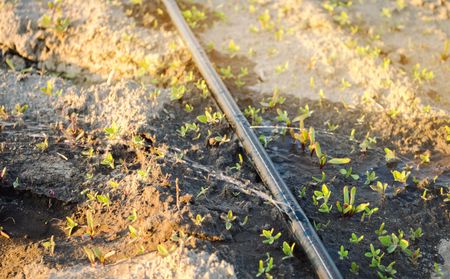 Growing young beets in the field. Drip irrigation. Organic vegetables. Agriculture. Farm. Selective focus. Close-up. Seedlings Stock Photo - 124957232