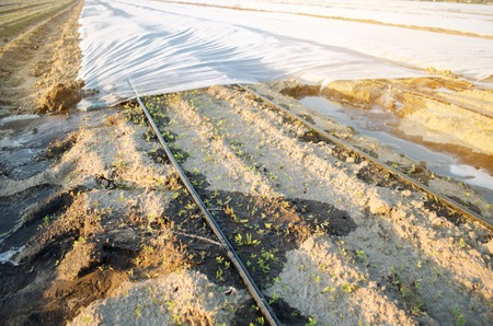 Growing young beets in the field. Drip irrigation. Organic vegetables. Agriculture. Farm. Selective focus. Close-up. Seedlings