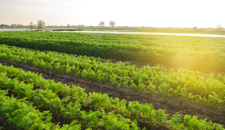 Carrot plantation grow in the field. Vegetable rows. Growing vegetables. Farm. Landscape with agricultural land. Crops Fresh Green Plant Agriculture Farming.