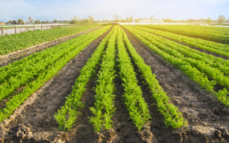 Carrot plantations are grown in the field. Vegetable rows. Organic vegetables. Landscape agriculture. Farming Farm. Selective focus