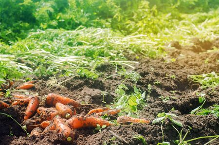 Harvesting carrot on the field. Growing organic vegetables. Freshly harvested carrots. Summer harvest. Agriculture. Farming. Agro-industry. Farm. Ukraine, Kherson region. Eco friendly products