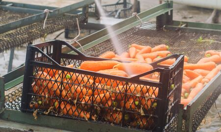 The process of cleaning carrot using high water pressure. Freshly harvested carrots. Summer harvest. Agriculture. Farming. Agro-industry. Eco friendly products. Pressure washer. Ukraine Kherson region