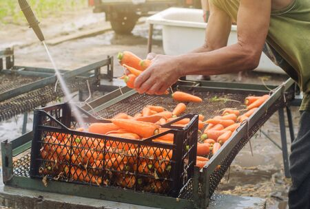 The process of cleaning freshly harvested carrots from the soil using pressure washer. Eco friendly products. Agriculture. Farming. Agro-industry. Ukraine, Kherson region. Harvest. Selective focus