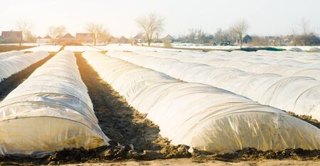 Growing organic vegetables in small greenhouse under plastic film on the field. Farming Agriculture Farmland. Selective focus Stock Photo - 124958337