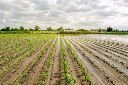 Natural disaster on the farm. Flooded field with seedlings of pepper and leek. Heavy rain and flooding. The risks of harvest loss. The flood. Agriculture. Ukraine, Kherson region. Selective focus Stock Photo - 124958521