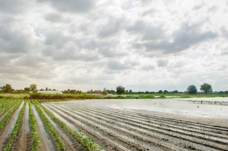 Natural disaster on the farm. Flooded field with seedlings of pepper and leek. Heavy rain and flooding. The risks of harvest loss. The flood. Agriculture. Ukraine, Kherson region. Selective focus Stock Photo
