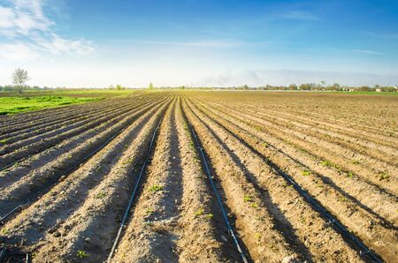 Rows of young potatoes grow in the field. Drip irrigation. Agriculture landscape. Rural plantations. Farm Farmland Farming. Selective focus