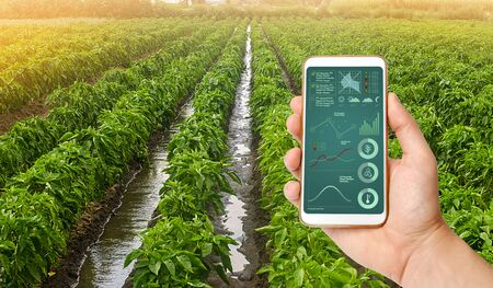 A hand is holding a smartphone with infographics on the background of traditional watering pepper plantations. Farming and agriculture. Cultivation, care and harvesting. agricultural products for sale Banco de Imagens