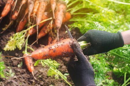 A farmer harvesting carrot on the field. Growing organic vegetables. Seacional job. Farming. Agro-industry. Agriculture. Farm. Ukraine, Kherson region. Freshly harvested carrots. Summer harvest
