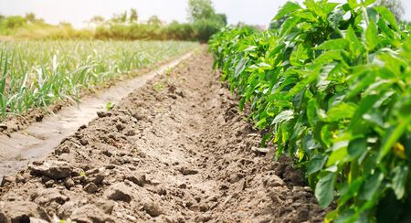 Plantation of young peppers and leek on a farm on a sunny day. Growing organic vegetables. Eco-friendly products. Agriculture land and agro business. Ukraine. Selective focus