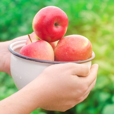 The farmer is holding fresh apples gathered in the garden. Autumn and summer harvest. A plate of vitamins. Harvesting. Organic fruits. Eco friendly products