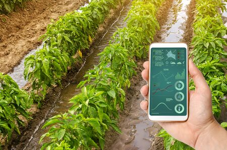 A hand is holding a smartphone with infographics on the background of traditional watering pepper plantations. Farming and agriculture. Watering caring for plants, fertilizer, cultivation. farm field 写真素材