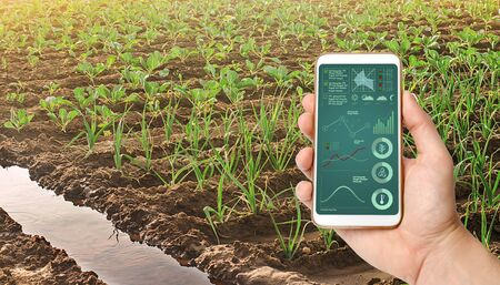 A hand is holding a smartphone with infographics on the background of leek and young cabbage plantations. Growing vegetables on the farm, harvesting for sale. Cultivation and care for plantation.