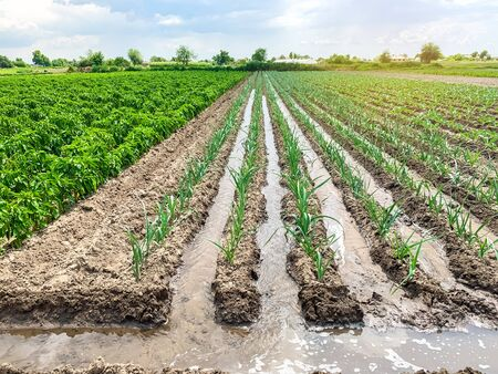 Irrigation of leek plantations in the field. Traditional natural watering. Eco-friendly products. Agriculture and farmland. Crops. Growing organic vegetables.