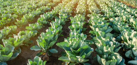 Cabbage plantations grow in the field. fresh, organic vegetables. landscape agriculture. farmland, farming 版權商用圖片