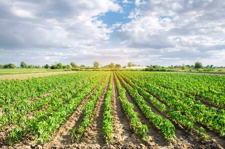 Pepper plantations grow in a field on a sunny day. Growing organic vegetables. Eco-friendly products. Agriculture and farming. Seedlings, cultivation. Ukraine, Kherson region. Selective focus