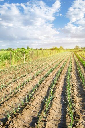 Rows of young leek on a farm on a sunny day. Growing organic vegetables. Eco-friendly products. Agriculture and farming. Plantation cultivation. Ukraine, Kherson region. Selective focus Banco de Imagens