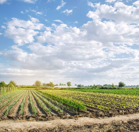 Leek, pepper and eggplant plantations grow in a field on a sunny day. Growing organic vegetables. Eco-friendly products. Agriculture and farming. Ukraine, Kherson region. Selective focus