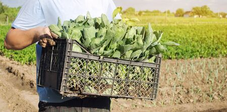 A farmer carry fresh cabbage seedlings in a box. Planting and growing organic vegetables. Agro-industry in third world countries, labor migrants. Family farmers. Seasonal job. Agriculture, farming.