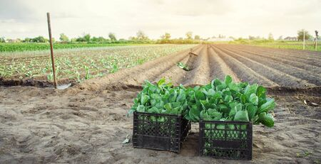 Box with young cabbage seedlings in the field. Eco-friendly products. Growing organic vegetables. Agriculture and farming. Agricultural crops. Ukraine, Kherson region. Selective focus Banco de Imagens