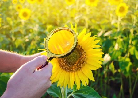 The food scientist checks the sunflower for chemicals and pesticides. Crop quality. Sunflower oil and biofuel. Eco-friendly products. Pomology. Agriculture and farming. GMO test. Selective focus