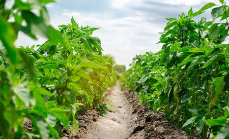 Agriculture land and farming. Plantation of young pepper on a farm on a sunny day. Growing organic vegetables. Eco-friendly products. Agro business. Ukraine, Kherson region. Selective focus