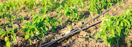Rows of young pepper on a farm on a sunny day. Growing organic vegetables and drip irrigation. Eco-friendly products. Agriculture and farming. Ukraine, Kherson region. Selective focus