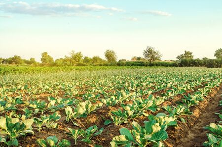 Plantation of young cabbage on a farm on a sunny day. Growing organic vegetables. Eco-friendly products. Agriculture and farming. Plantations cultivation. Ukraine, Kherson region. Selective focus Banco de Imagens