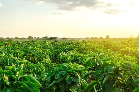 Rows  plantation of young pepper on a farm on a sunny day. Growing organic vegetables. Eco-friendly products. Agriculture land and farming. Agro business. Ukraine, Kherson region. Selective focus