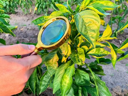 The food scientist checks the peppers for chemicals and pesticides. Growing organic vegetables. Eco-friendly products. Pomology. Agriculture and farming. GMO test. Study quality of soil and crop.