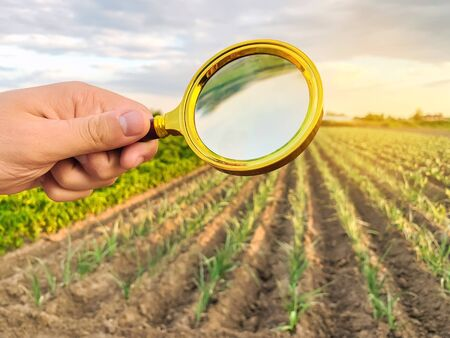 The food scientist checks the harvest for chemicals and pesticides. Study quality of soil and crop. Growing organic vegetables. Eco-friendly products. Pomology. Focus on magnifying glass. GMO test.