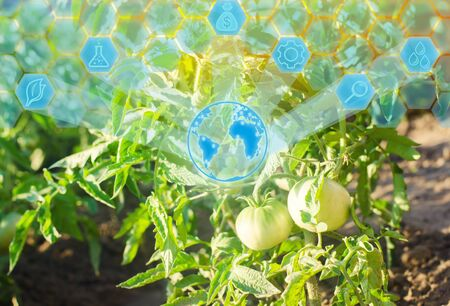 bush young green tomato growing on branches. farming, agriculture, vegetables, eco-friendly agricultural products, agroindustry, closeup