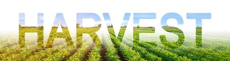 The inscription harvest on the background of a potato plantation. Environmentally friendly harvest, quality control. potato bushes grows in the soil. eco-friendly agricultural products.