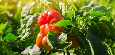 Red bulgarian pepper grows in the field. Growing organic vegetables. Eco-friendly products. Agriculture land and farming. Agro business. Harvest. Harvesting. Selective focus