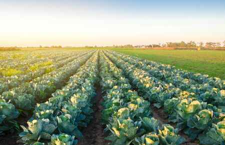 Cabbage plantations in the sunset light. Growing organic vegetables. Eco-friendly products. Agriculture and farming. Plantation cultivation. Selective focus 写真素材
