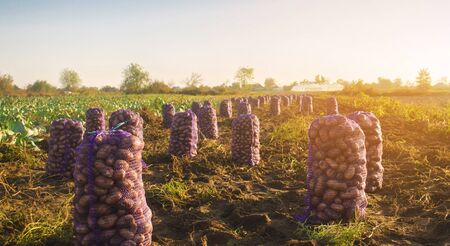 A bag of freshly picked potatoes in the field. Autumn harvesting. Agriculture and farming. Organic vegetables. Harvest. Eco-friendly products. Selective soft focus