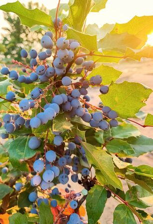 Blue berries Mahonia aquifolium (Oregon-grape or Oregon grape) and bush is a species of flowering plant in the family Berberidaceae, native to western North America. Natural wallpaper. close-up Stok Fotoğraf