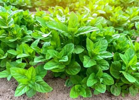 Fresh leaves of green young mint grow in the garden. Natural wallpaper. Aromatherapy.